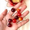 Vișine - Sour Cherry imagine