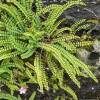 Poa annua & Asplenium sp. - Broșă Cu Ferigi Și Iarbă De Pădure
