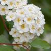 Spiraea x vanhouttei - Flori De Cununiță. Norișori Pe Cer