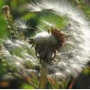 Taraxacum officinale - Dandelion Seed. Red Cherry