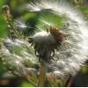 Taraxacum officnale - Dandelion Seed. Indigo