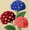 Verbena hybrida & Asplenium ruta-muraria