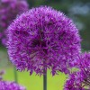 Allium sp. - Inflorescență. Pandantiv Verde Mentă. Perlat