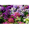 Alyssum sp. - Honey Flower. Black