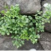 Asplenium ruta-muraria. Wall-rue Fern On Pale Mint Color
