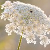 Daucus carota - Floare de Morcov Sălbatic. Bordo Intens