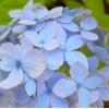 Hydrangea sp. - Hortensie. Aqua Blue