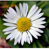 Bellis perennis - Common Daisy. Pearl Intense Blue