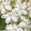 Sambucus nigra - Floricele De Soc. Albastru Noapte De Vară