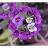Alyssum sp. - Sweet Alyssum. Purple Flower