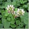 Trifolium sp. Trifoi