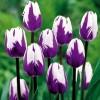 Tulipa sp. - Petală de Lalea. Bicolor Violet