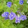 Physalis alkekengi &  Veronica chamaedrys. White & Blue