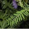 Vicia cracca - Frunză De Măzăriche. Butoni Argintii imagine